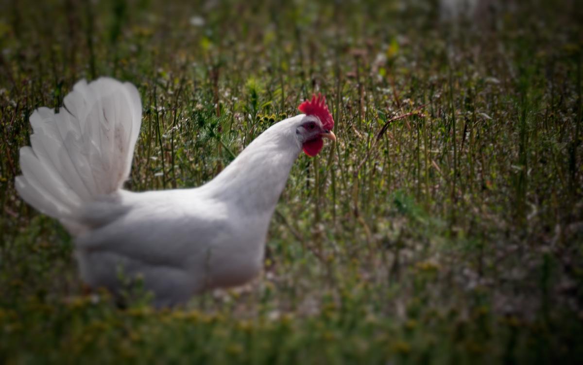 Høns med tykke ben lægger flest æg
